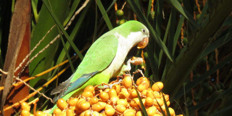 """The """"exotic"""" Green Parrots of Spain"""